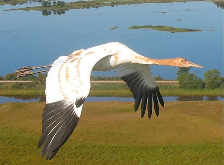 whooping crane in flight symbolizing good fourtune and healing